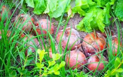オーダーメイド型野菜とは何か? 埼玉県の事例